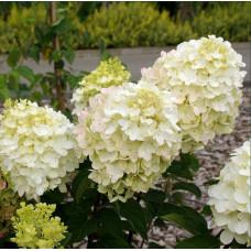 Гортензии Гортензия метельчатая Коттон Крим (Cotton Cream)