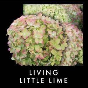 Гортензия метельчатая Гортензия метельчатая Литл Лайм (Little Lime)