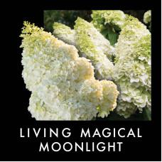 Гортензия метельчатая Гортензия метельчатая Мэджикал Мунлайт (Magical Moonlight)