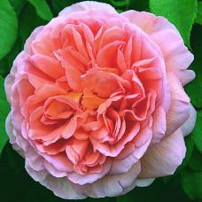 Кустовые розы (шрабы) David Austin (Дэвид Остин), Англия Abraham Darby (Абрахам Дерби), David Austin