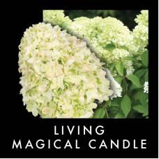 Гортензия метельчатая Гортензия метельчатая Мэджикал Кэндл (Magical Candle)