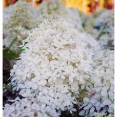Гортензия метельчатая Гортензия метельчатая Роял Флауэр (Royal Flower)