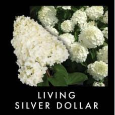 Гортензия метельчатая Гортензияметельчатая Сильвер Доллар (Silver Dollar)
