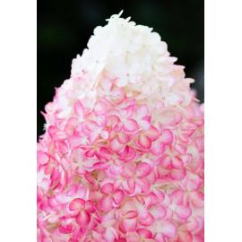 Гортензия метельчатая Пинк энд Роуз (Pink and Rose)