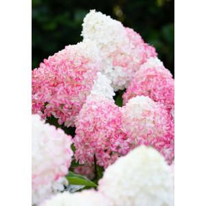 Гортензия метельчатая Гортензия метельчатая Пинк энд Роуз (Pink and Rose)