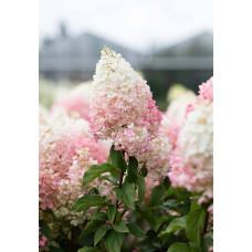 Гортензия метельчатая Гортензия метельчатая Строберри Блоссом (Strawberry Blossom)