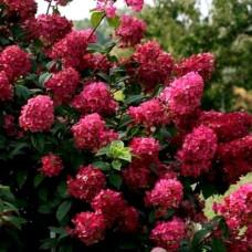 Гортензия метельчатая Гортензия метельчатая Вимс Ред (Wim's Red / Farbsymphonie)