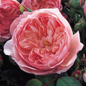 Кустовые розы (шрабы) David Austin (Дэвид Остин), Англия The Alnwick Rose (Алнвик Роуз), David Austin