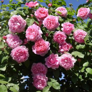 Кустовые розы (шрабы) David Austin (Дэвид Остин), Англия Alan Titchmarsh (Алан Титчмарш), David Austin