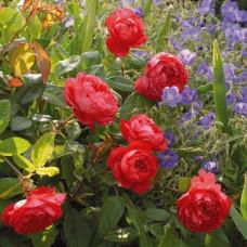 Кустовые розы (шрабы) David Austin (Дэвид Остин), Англия Benjamin Britten (Бенджамин Бриттен), David Austin
