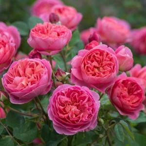 Кустовые розы (шрабы) David Austin (Дэвид Остин), Англия Boscobel (Боскобель), David Austin