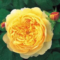 Кустовые розы (шрабы) David Austin (Дэвид Остин), Англия Charles Darwin (Чарльз Дарвин), David Austin
