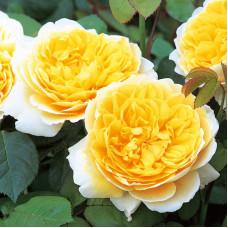 Кустовые розы (шрабы) David Austin (Дэвид Остин), Англия Charlotte (Шарлотта), David Austin