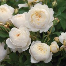 Кустовые розы (шрабы) David Austin (Дэвид Остин), Англия Claire Austin (Клэр Остин), David Austin