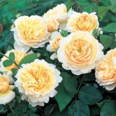 Кустовые розы (шрабы) David Austin (Дэвид Остин), Англия Crocus Rose Syn. Emanuel (Эмануэль (Крокус Роуз)), David Austin