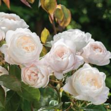 Кустовые розы (шрабы) David Austin (Дэвид Остин), Англия Desdemona (Дездемона), David Austin
