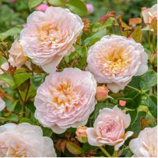 Кустовые розы (шрабы) David Austin (Дэвид Остин), Англия Emily Bronte (Эмили Бронте), David Austin