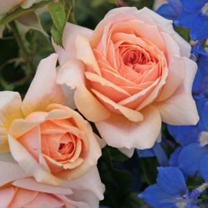 Розы флорибунда  Kordes (Кордес), Германия Garden Of Roses (Гарден Оф Роузес), Kordes