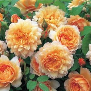 Кустовые розы (шрабы) David Austin (Дэвид Остин), Англия Grace (Грэйс), David Austin