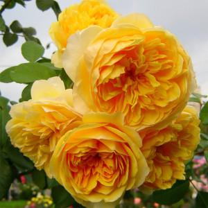 Кустовые розы (шрабы) David Austin (Дэвид Остин), Англия Graham Tomas (Грэхэм Томас), David Austin