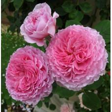 Кустовые розы (шрабы) David Austin (Дэвид Остин), Англия James Galway (Джеймс Гэлвэй), David Austin