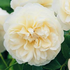 Кустовые розы (шрабы) David Austin (Дэвид Остин), Англия Lichfield Angel (Личфилд Энджел), David Austin
