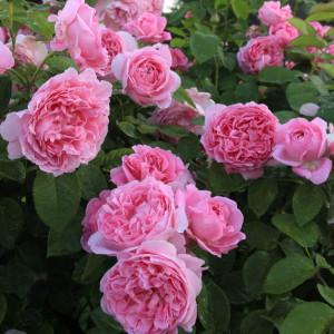 Кустовые розы (шрабы) David Austin (Дэвид Остин), Англия Mary Rose (Мэри Роуз), David Austin