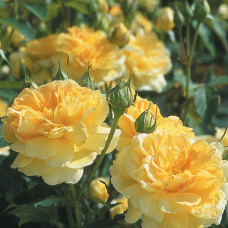 Кустовые розы (шрабы) David Austin (Дэвид Остин), Англия Molineux (Молинью), David Austin