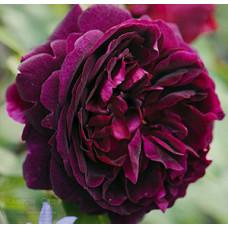 Кустовые розы (шрабы) David Austin (Дэвид Остин), Англия Munstead Wood (Манстед Вуд), David Austin