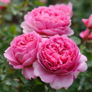 Кустовые розы (шрабы) David Austin (Дэвид Остин), Англия Princess Alexandra of Kent (Принцесс Александра оф Кент), David Austin
