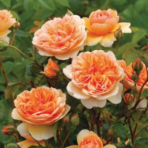 Кустовые розы (шрабы) David Austin (Дэвид Остин), Англия Port Sunlight (Порт Санлайт), David Austin