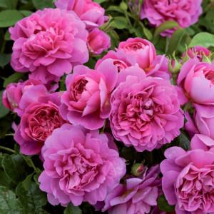 Кустовые розы (шрабы) David Austin (Дэвид Остин), Англия Princess Anne (Принцесс Энн), David Austin