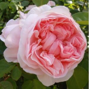 Кустовые розы (шрабы) David Austin (Дэвид Остин), Англия St. Swithun (Сант Свизан), David Austin