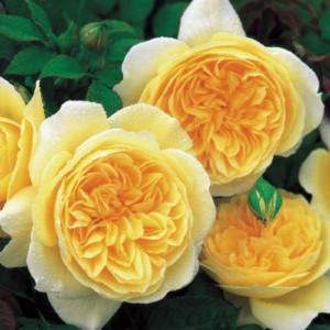 Кустовые розы (шрабы) David Austin (Дэвид Остин), Англия Teasing Georgia (Тизинг Джорджиа), David Austin