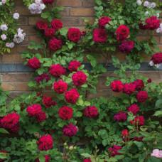 Кустовые розы (шрабы) David Austin (Дэвид Остин), Англия Tess of the d`Urbervilles (Тэсс ов зэ Дёбервилз), David Austin