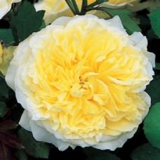 Кустовые розы (шрабы) David Austin (Дэвид Остин), Англия The Pilgrim (Пилгрим), David Austin