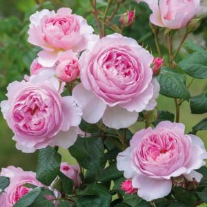 Кустовые розы (шрабы) David Austin (Дэвид Остин), Англия The Ancient Mariner (Зе Эйншент Маринер), David Austin