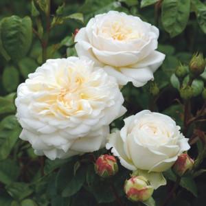 Кустовые розы (шрабы) David Austin (Дэвид Остин), Англия Tranquillity (Транквиллити), David Austin