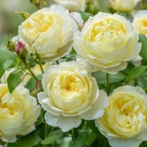Кустовые розы (шрабы) David Austin (Дэвид Остин), Англия Vanessa Bell (Ванесса Белл), David Austin