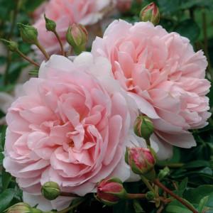 Кустовые розы (шрабы) David Austin (Дэвид Остин), Англия Wildeve (Вилдив), David Austin