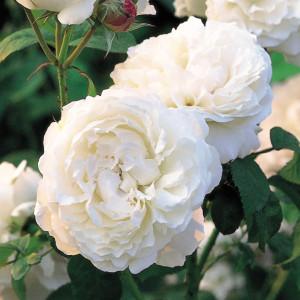 Кустовые розы (шрабы) David Austin (Дэвид Остин), Англия Winchester Cathedral (Винчестер Кэфэдрал), David Austin