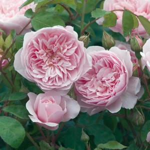 Кустовые розы (шрабы) Wisley 2008 (Уизли 2008), David Austin