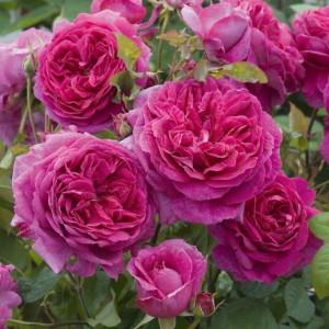 Кустовые розы (шрабы) David Austin (Дэвид Остин), Англия Young Lycidas (Янг Лисидас), David Austin