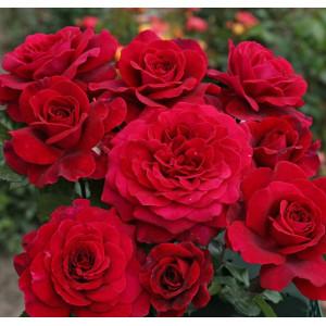 Чайно-гибридные розы  Kordes (Кордес), Германия Bellevue (Беллевью), Kordes