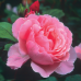 Кустовые розы (шрабы) David Austin (Дэвид Остин), Англия Brother Cadfael (Бразе Кэдфэл), David Austin
