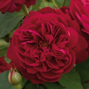 Кустовые розы (шрабы) David Austin (Дэвид Остин), Англия Darcey Bussell (Дарси Бассел), David Austin