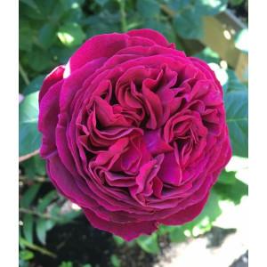 Кустовые розы (шрабы) David Austin (Дэвид Остин), Англия Falstaff (Фальстаф), David Austin