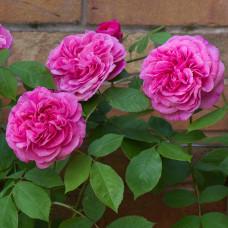 Кустовые розы (шрабы) David Austin (Дэвид Остин), Англия Gertrude Jekyll (Гертруда Джекилл), David Austin