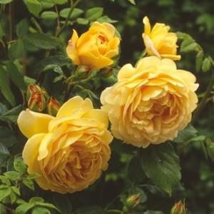 Кустовые розы (шрабы) David Austin (Дэвид Остин), Англия Golden Celebration (Голден Селебрэйшн), David Austin