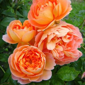 Кустовые розы (шрабы) David Austin (Дэвид Остин), Англия Pat Austin (Пэт Остин), David Austin
